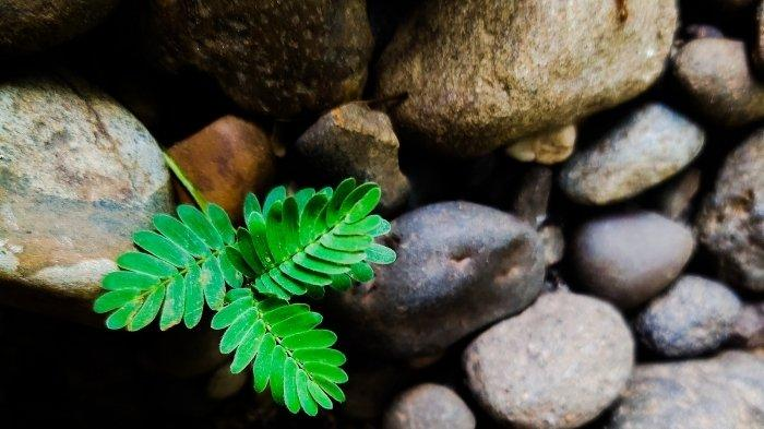 Daun Meniran tanaman liar kaya manfaat termasuk perkuat imunitas tubuh