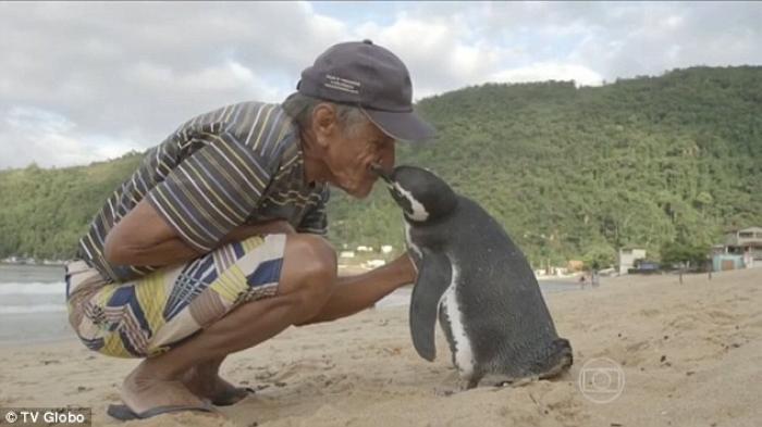 Sekali Dalam Setahun, Penguin ini Arungi Lautan Hanya Untuk Kunjungi Kakek ini