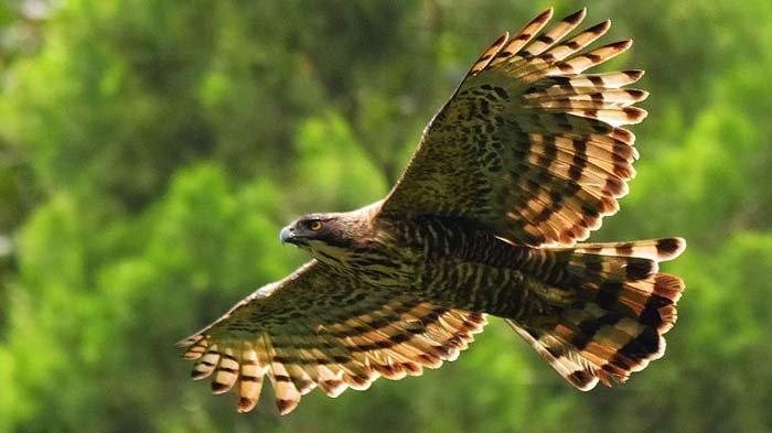 Taman Nasional Bromo Tengger Semeru (TNBTS) Fokus Lestarikan Elang Jawa Sejak Tahun 2012