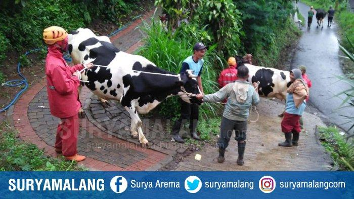 Puluhan Sapi dan Kambing Ternak Warga Brau Dievakuasi, Longsor Masih Mengancam Kota Batu