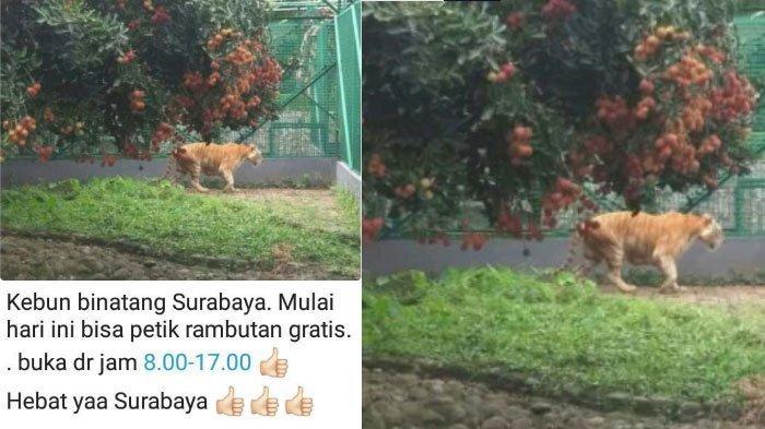 Penjelasan Kebun Binatang Surabaya (KBS) Soal Foto Petik Buah Rambutan di Kandang Macan yang Viral