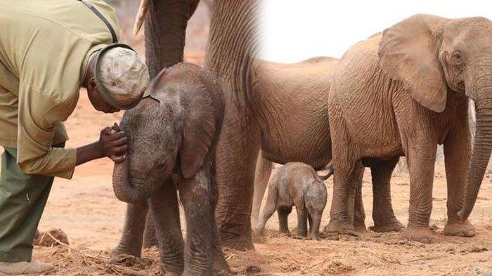 Momen Haru Induk Gajah Liar Pamerkan Bayinya yang Baru Lahir Pada Sosok Pria yang Pernah Menolongnya