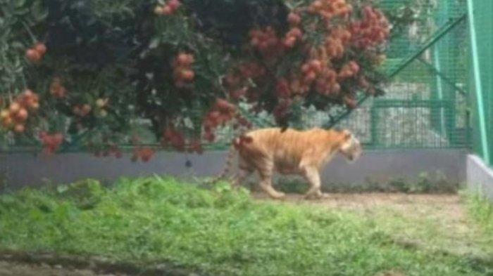 Hoax Wisata Petik Buah Rambutan di Kandang Harimau, Ini Penjelasan Humas Kebun Binatang Surabaya