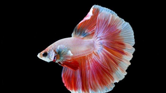 Halfmoon double tail adalah jenis ikan cupang halfmoon yang memiliki ekor ganda