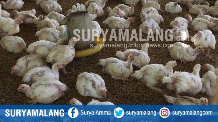 Harga Ayam Anjlok, Peternak di Kota Malang Terpaksa Kosongkan Kandang