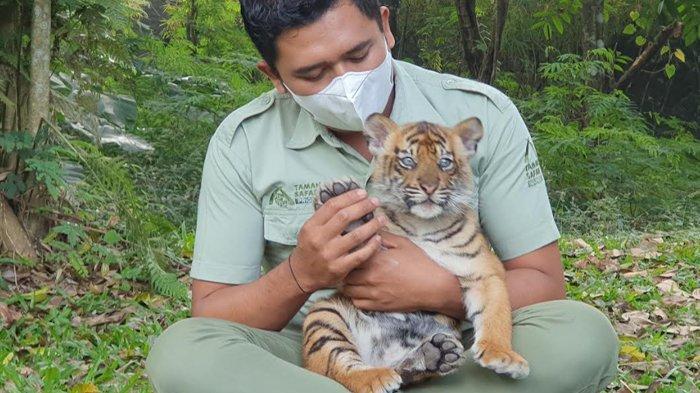 Harimau Sumatera Taman Safari Prigen Melahirkan 2 Anakan, Diberi Nama Isyana dan Aura