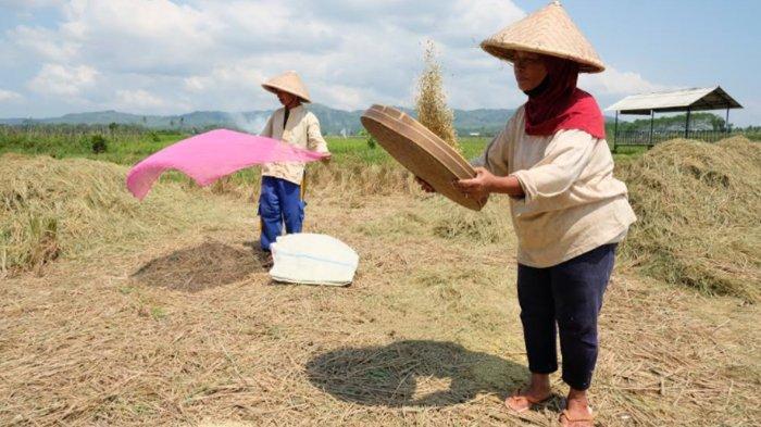Produksi Gabah di Desa Kanigoro Pagelaran Malang Tembus 12 Ton per Hektare
