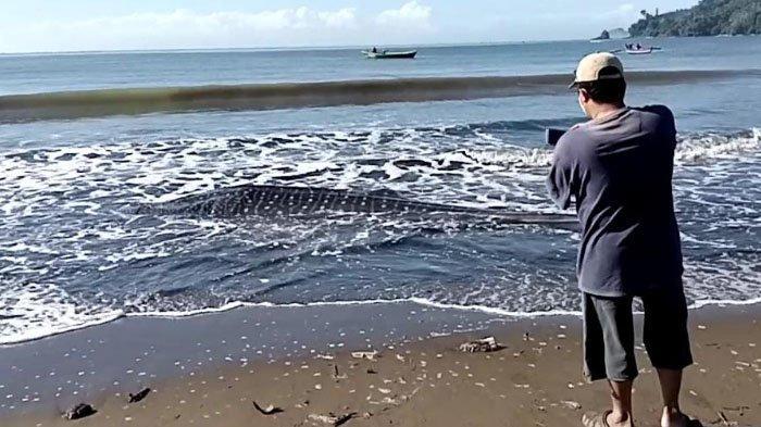 Penampakan Hiu Paus yang Terdampar dan Mati di Pantai Bayem, Tulungagung