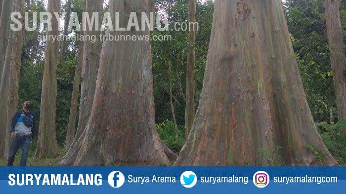 Deretan Pohon Raksasa Warna-warni bak Pelangi di Hutan Pelangi Sumberwringin, Bondowoso