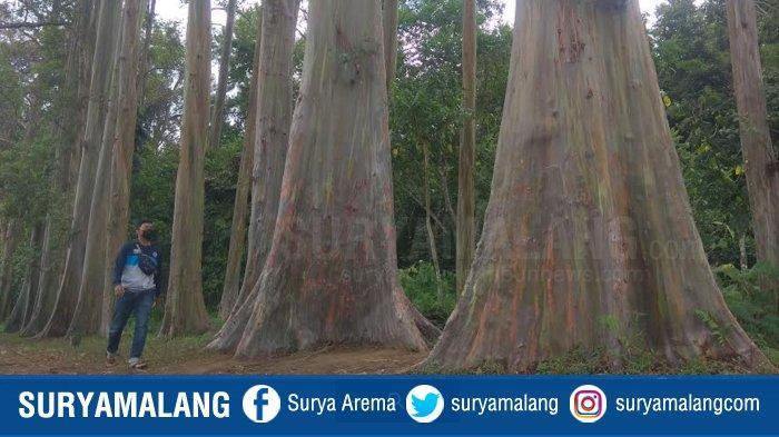 Mengenal Keunikan Hutan Pelangi, Hutan Pohon Raksasa dengan Batang yang Berwarna-Warni di Bondowoso