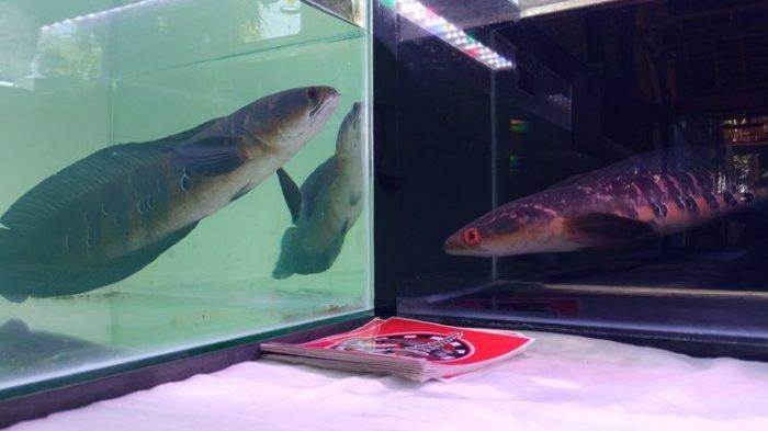 Mengenal Ikan Gabus, Dulu Hanya Dikonsumsi, Kini Ada yang Seharga Rp 35 Juta