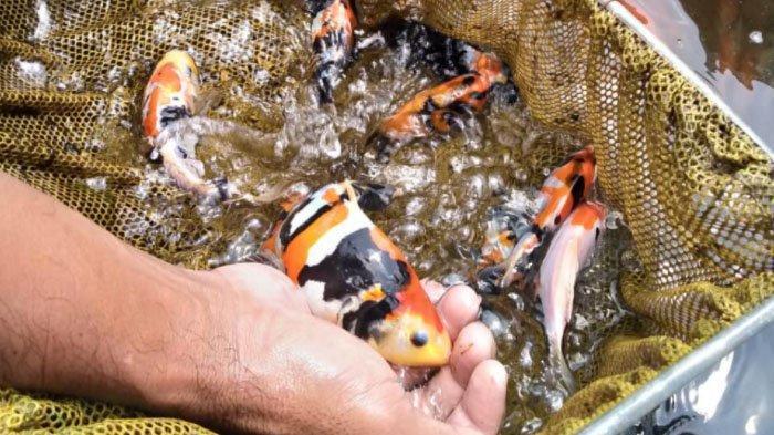 Frustasi Akibat Pandemi, Pembudidaya Patin Tulungagung Banyak Beralih ke Ikan Koi