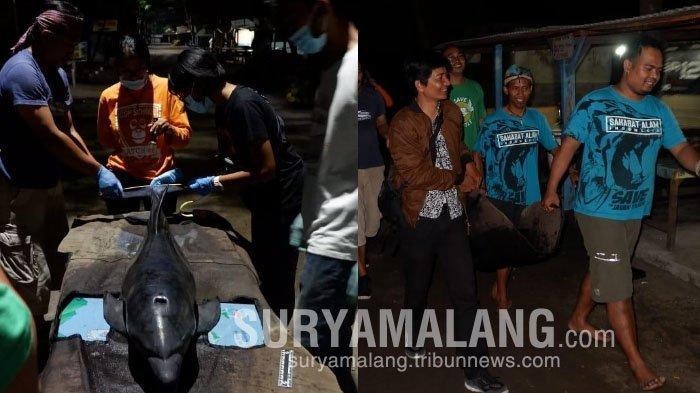 Ikan Lumba-lumba Penuh Luka Terdampar di Pantai Serang, Blitar