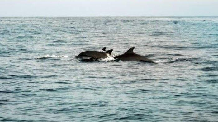 Puluhan Lumba-lumba Muncul di Perairan Desa Randuboto, Gresik