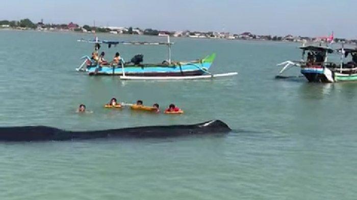 Penampakan Ikan Paus Sepanjang 15 Meter yang Terdampar di Perairan Tuban