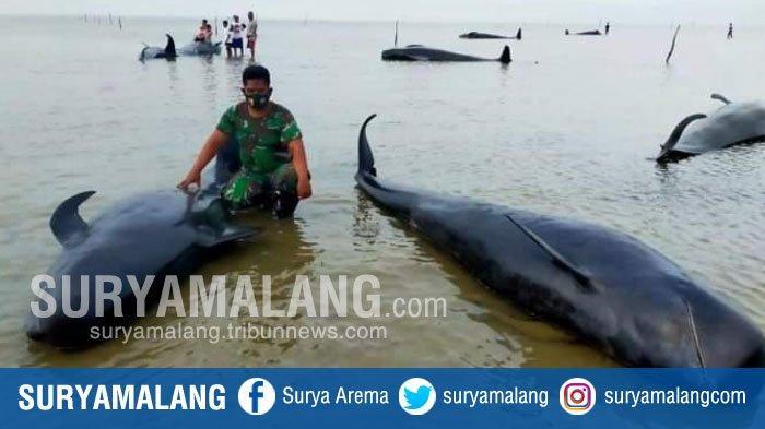 Kronologi Puluhan Ikan Paus Terdampar di Pesisir Bangkalan Madura, Warga Sampai Mendorongnya ke Laut