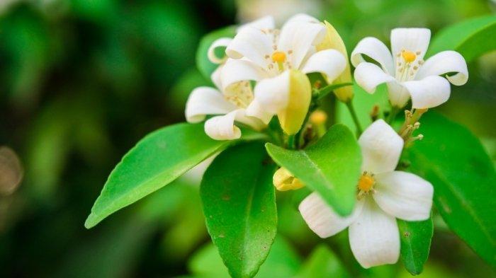 Ilustrasi bunga kemuning yang bisa mengobati lebih dari 30 jenis penyakit