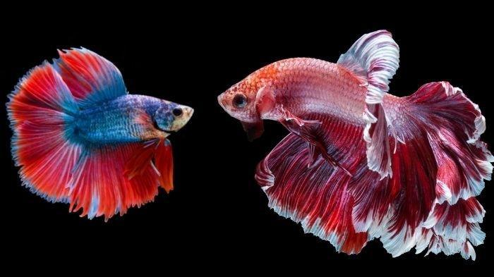5 Cara Perawatan Ikan Cupang yang Baru Dibeli Agar Tidak Stress & Bisa Hidup Lebih Lama, Lakukan Ini