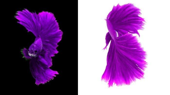Ilustrasi foto ikan cupang berwarna ungu yang langka dan banyak dicari kolektor