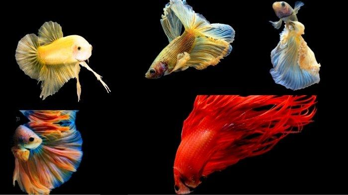 5 Jenis Ikan Cupang Paling Langka Jadi Incaran Kolektor, Berwarna Cantik dan Berekor Ganda