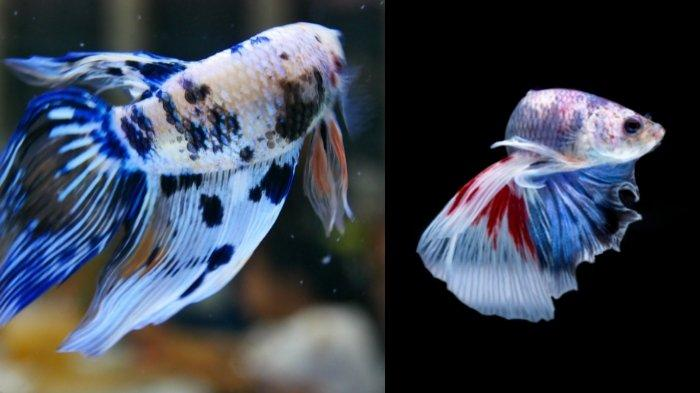 Ilustrasi ikan cupang: cara membedakan ikan cupang jantan dan betina