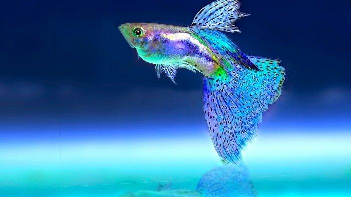 4 Ciri-ciri Ikan Cupang Betina Siap Kawin, Jangan Diabaikan Jika Tak Mau Gagal Dapat Burayak