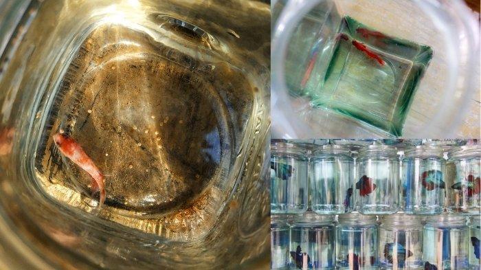 Ilustrasi ikan cupang dalam wadah kecil, alasan ikan cupang tidak boleh dipelihara di toples
