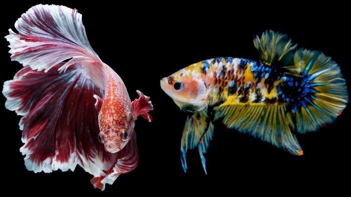 Kenali Ciri-ciri Ikan Cupang Betina yang Siap Kawin, Lengkap Tips Memilih Bibit Untuk Ternak