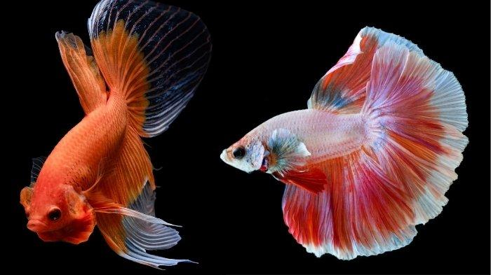 Cara Mudah Merawat Ikan Cupang yang Benar Agar Cepat Besar, Lengkap Tips Hidup Lebih Lama