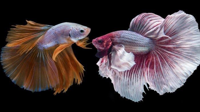 5 Cara Khusus Merawat Ikan Cupang Halfmoon, Tips Agar Panjang Umur dan Sehat