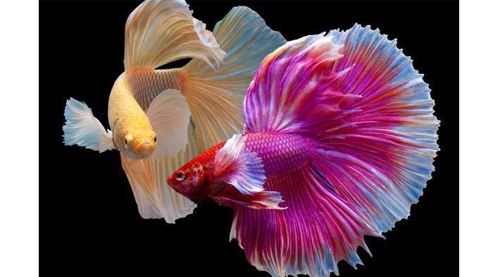 Ilustrasi ikan cupang halfmoon