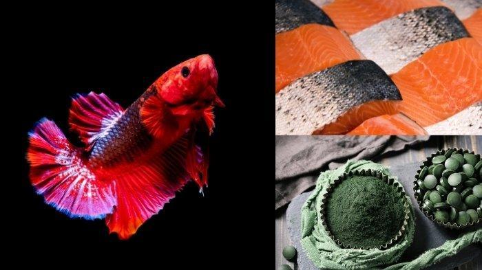 Makanan Ikan Cupang Agar Warnanya Bagus dan Cerah, 5 Pakan Ini Punya Fungsi Berbeda-beda