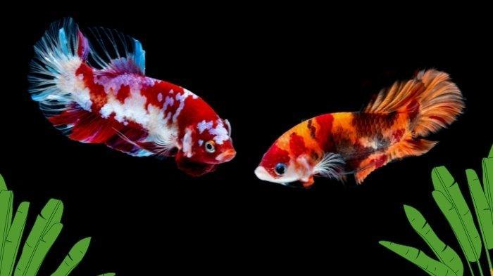 3 Penyebab Ikan Cupang Bertarung dan Tak Bisa Disatukan di Akuarium, Beda saat di Alam Liar