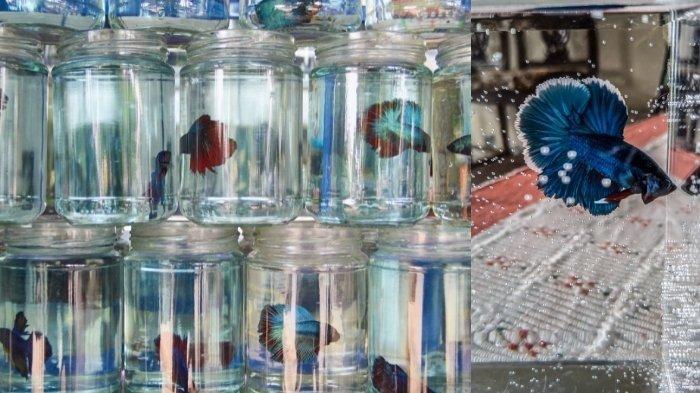 5 Penyebab Ikan Cupang Mengeluarkan Busa hingga Air Cepat Keruh, Jangan Khawatir Pertanda Baik