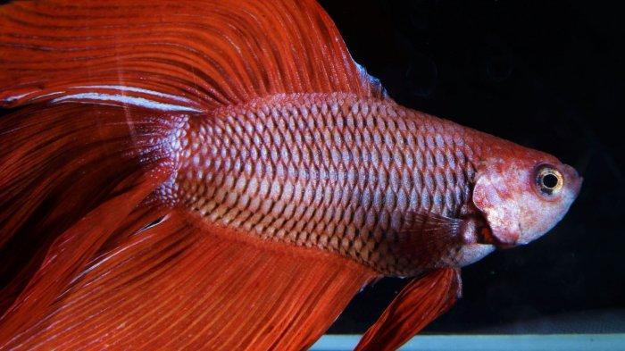ILUSTRASI Ikan Cupang