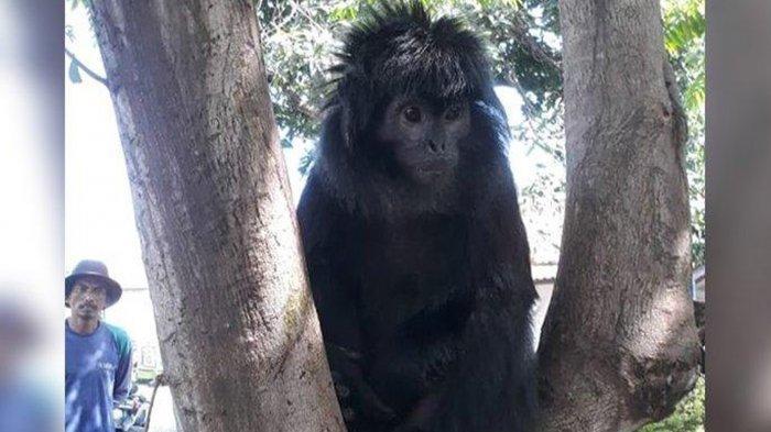 ProFauna Temukan Sisa Tubuh Lutung Jawa di Gunung Butak Malang, Diduga dari Aksi Perburuan Liar