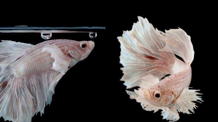 Kenali Ciri-ciri Ikan Cupang Sedang Bersedih, Ternyata Penyebabnya Sepele Cukup Lakukan Hal Ini