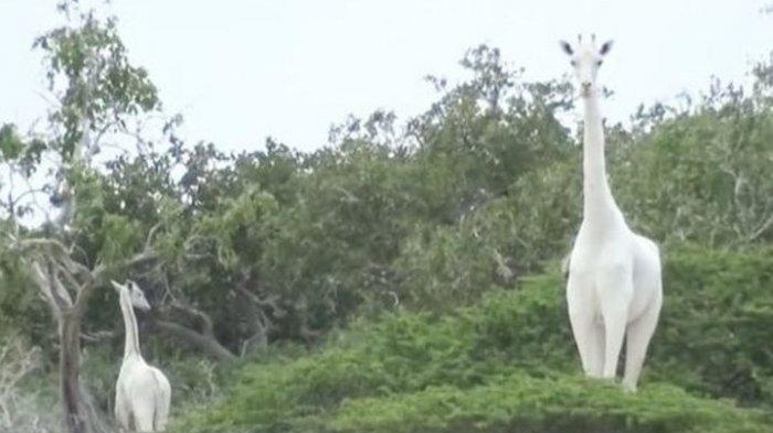 Hanya Ada 1 Ekor di Dunia, Jerapah Putih Terancam Punah Gara-gara Ulah Manusia yang Keji