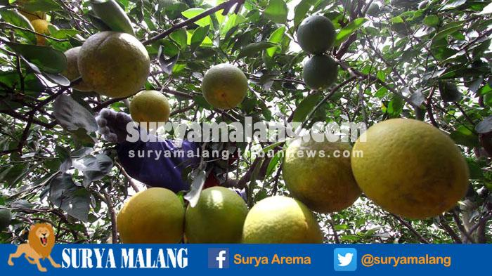 Seorang petani sedang memanen jeruk di Desa Selorejo, Kecamatan Dau, Kabupaten Malang, Rabu (21/9/2016)