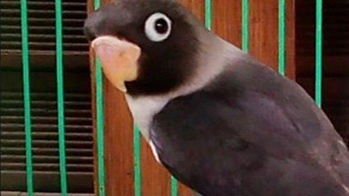 Kabar Burung Dari Madura Dulu Love Bird Batman Rp 1 8 Juta Kini Hanya Rp 200 000 Surya Malang