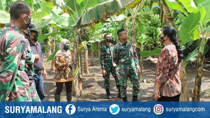 Kebun Museum Pisang Terlengkap di Jatim di Puslit Sukosari PTPN XI Lumajang, Ada 37 Jenis Pisang