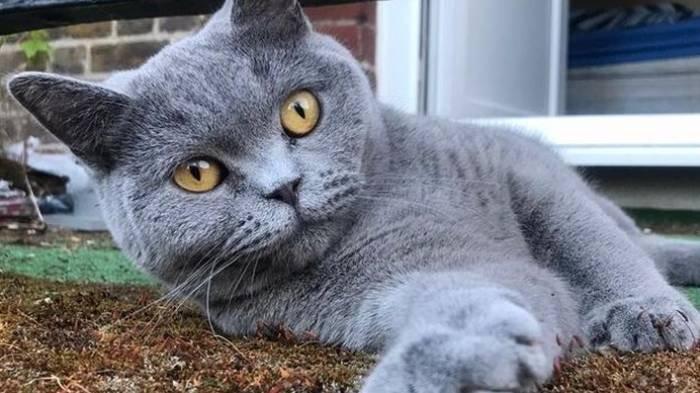 Kucing British Shorthair Diduga Jadi Korban Pemerkosaan Manusia, Hilang 3 Hari, Anusnya Luka Parah