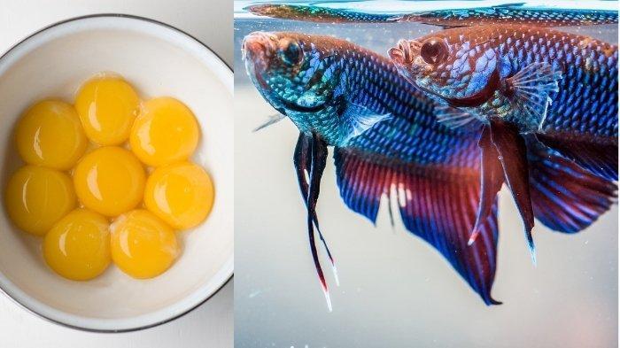 Manfaat Kuning Telur untuk Burayak Ikan Cupang Agar Cepat Besar, Simak Aturan Cara Memberi Pakan