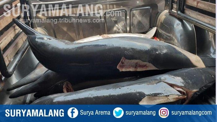 Nelayan Pantai Sine Tulungagung Ditangkap Karena Diduga Memperdagangkan Daging Lumba-lumba