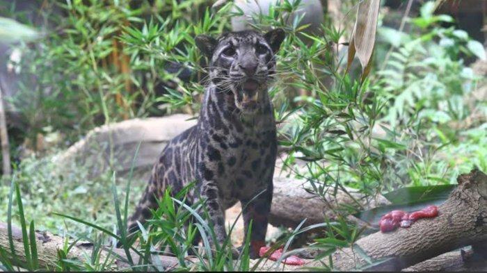 Batu Secret Zoo Jatim Park Batu Jadi Satu-Satunya Kebun Binatang yang Rawat 2 Spesies Macan Dahan