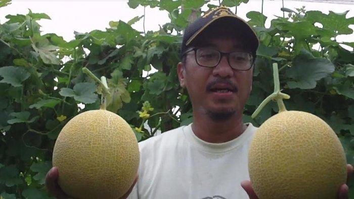 Petani Balongpanggang Gresik Raih Untung Dari Buah Melon, Panen 1,5 Ton Langsung Ditebas Distributor