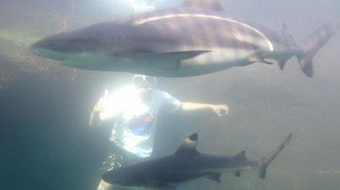 Cukup Bayar Rp 35.000, Anda Bisa Snorkeling Bareng Hiu di Bangsring Underwater Banyuwangi