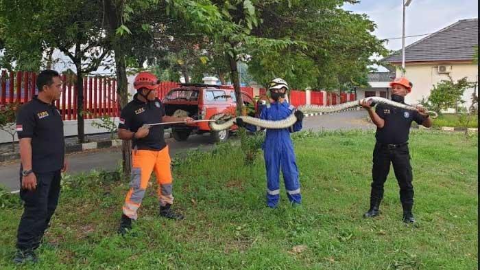 Bikin Geger, Ular Piton 3,5 Meter Masuk Kawasan Pabrik Rokok Gudang Garam di Tuban