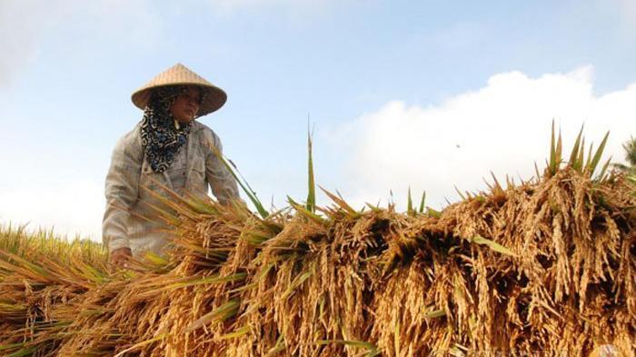 Petani Jember Tolak Rencana Pemerintah Impor Beras, Dianggap Sebagai Cara Memusnahkan Petani