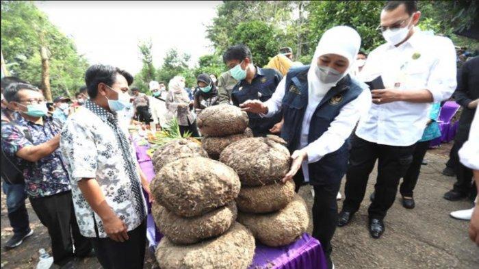 Gubernur Jatim Terbitkan Aturan Larangan Ekspor Bibit Porang, Mentan Dukung dan AwasiKatak Porang